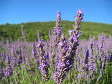 lavande et plantes aromatiques